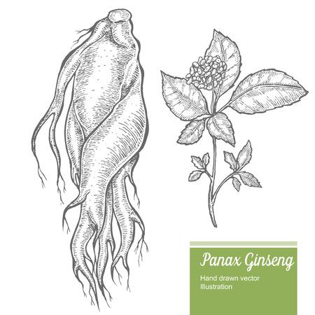 raíz de ginseng, hojas, bayas, flores aisladas sobre fondo blanco. naturaleza orgánica de hierbas chino y coreano. Mano vector dibujado