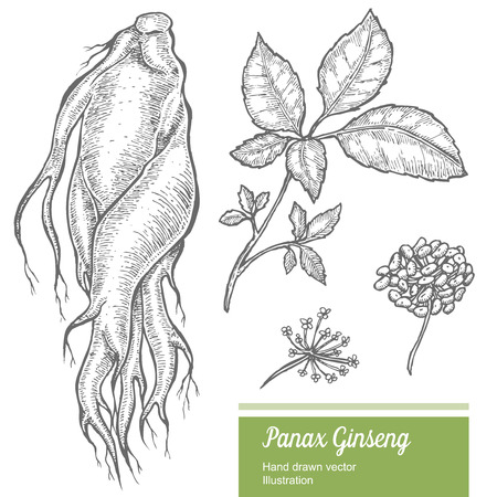 Ginseng root, leaf, berry, flower isolated on white background. Organic nature chinese and korean herb. Hand drawn vector illustration
