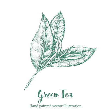 green tea leaf: Green tea leaf vector illustration. Floral branch organic hand drawing sketch.