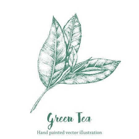 Groene thee blad vector illustratie. Bloemen tak organische hand tekenen schets.
