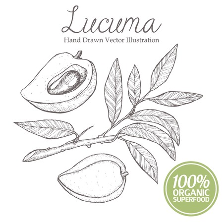 microelements: Lucuma plum fruit, branch, leaf. Organic, superfood, nutrition healthy hand drawn image vector illustration