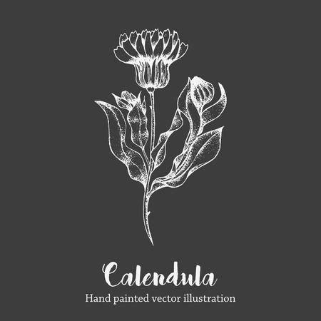 calendula: Nature vector calendula flower sketch hand drawing illustration