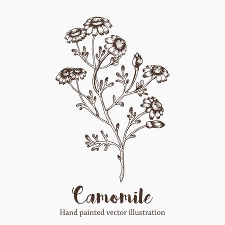 camomile flower: Vector camomile flower sketch illustration on white background. Nature hand drawn Illustration