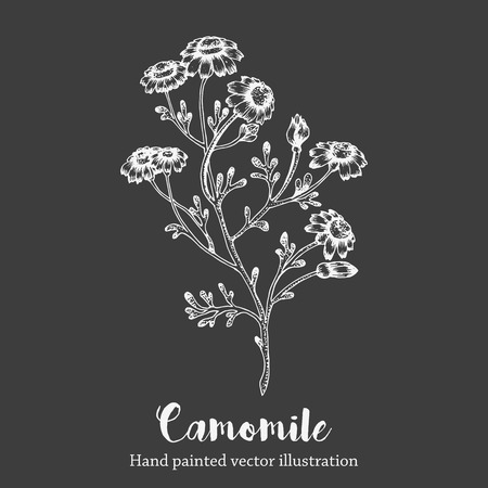 camomile flower: Vector camomile flower sketch illustration on white background. Nature hand drawn on chalkboard