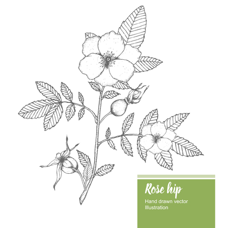 vitamine: Rosehip flower, bud, branch, leaf sketch vector nature summer organic hand drawn illustration.