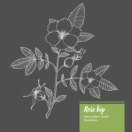 eglantine: Rosehip flower, bud, branch, leaf sketch vector nature summer organic hand drawn illustration.