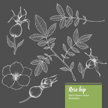 Rosa flores, brotes, ramas, hojas de dibujo vectorial verano de la naturaleza orgánica mano dibujado ilustración.