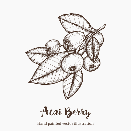 Acai berry. Organic super food ingredient. Vector hand drawing sketch illustration