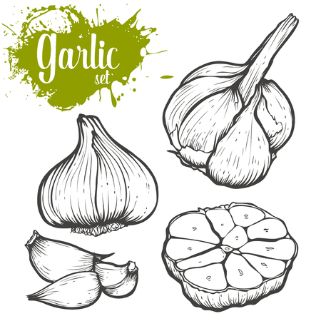 Garlic herb and spice set. engraving sketch illustration. Black on white background. Stock Vector - 53559089
