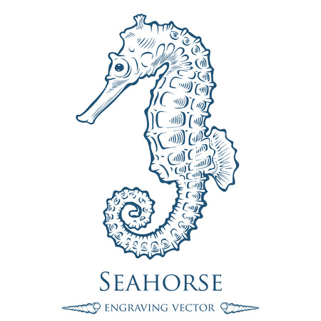 ocean background: Seahorse sea horse nature ocean aquatic underwater . marine engraving illustration on white background