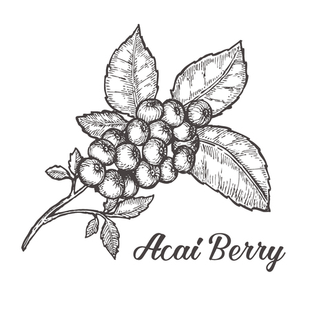 acai berry: Acai berry. Organic super food ingredient. sketch illustration