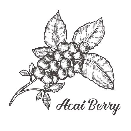 Acai berry. Organic super food ingredient. sketch illustration