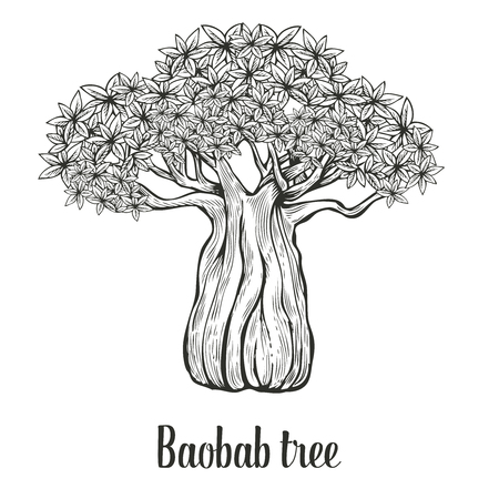 adansonia: Baobab tree, leaf engraving vintage  illustration. Black on white background.