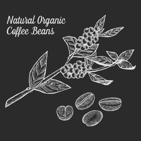 plant to drink: Coffee branch plant with leaf, berry, bean, fruit, seed. Natural organic caffeine drink. illustration on chalkboard background.