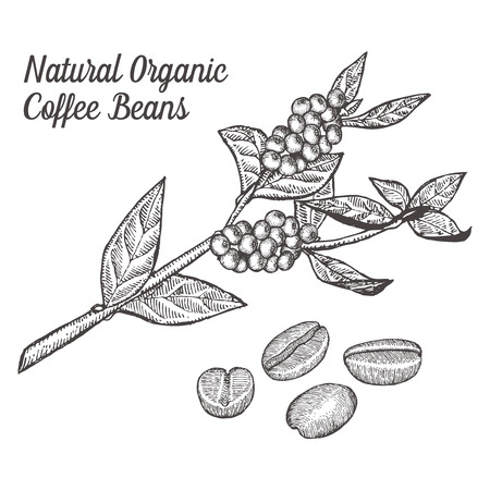 engraving: Coffee branch plant with leaf, berry, bean, fruit, seed. Natural organic caffeine drink.  illustration on white background.