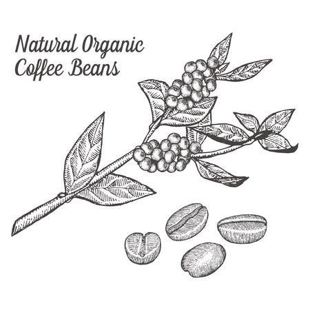 Kaffee Zweigwerk mit Blatt, Beere, Bohne, Obst, Samen. Natürliche organische Koffein trinken. Abbildung auf weißem Hintergrund.