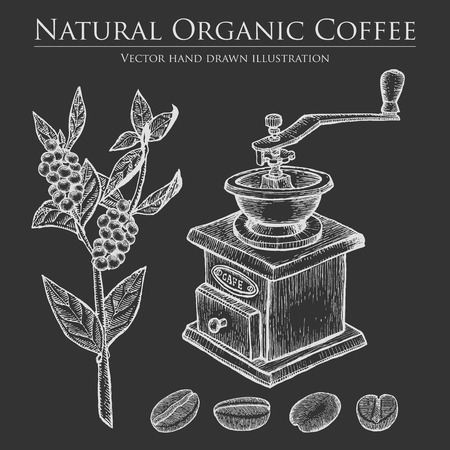 coffee berry: Coffee branch plant with leaf, berry, bean, fruit, seed, mill. Natural organic caffeine drink.  illustration on chalkboard background.