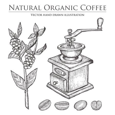 planta de cafe: planta ramificación del café con la hoja, baya, frijol, frutas, semillas, molino. bebida cafeína orgánica natural. Ilustración sobre fondo blanco. Vectores