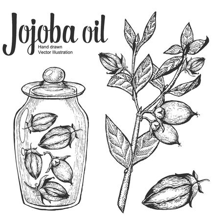 Jojoba noten, zaden, fruit, tak, blad, fruit. Biologische olie voeding gezond voedsel. Gegraveerde vintage retro illustratie
