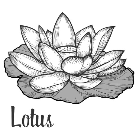 nymphaea: Lotus flower and leaf hand drawn monochrome vector floral illustration. Floral engraving sketch natural organic element.