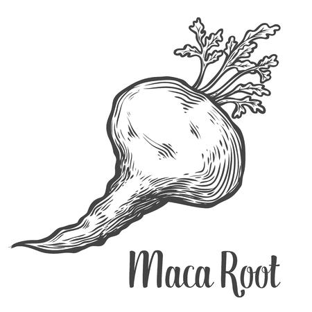 Maca Peruaanse superfood plant. Hand getrokken gegraveerd vector schets ets illustratie. Ingrediënt voor haar en lichaam verzorgende crème, lotion, behandeling, vocht, voedsel. Zwart op een witte achtergrond