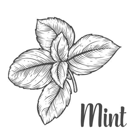 Mint peppermint fresh herb leaves plant vector hand drawn illustration on white background. Herbal Ingredient for traditional cuisine, medicine, treatment, cooking, gardening. Engraving style. Isolated on white Иллюстрация