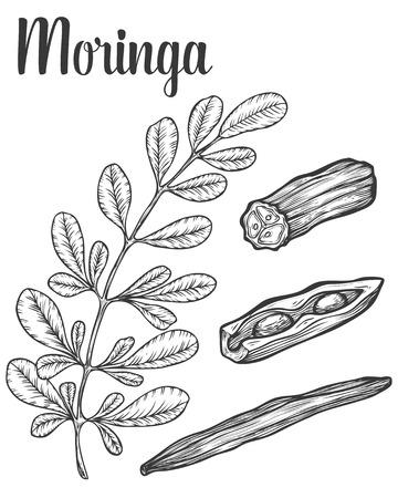 Moringa bladeren en zaden. Vector vintage schets gegraveerde hand getrokken illustratie. Witte achtergrond.