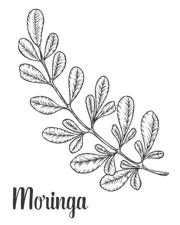 Moringa bladeren. Vector vintage schets gegraveerde hand getrokken illustratie. Witte achtergrond.