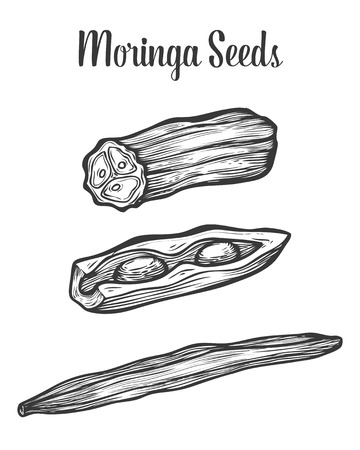 malunggay: Moringa seeds. Vector vintage sketch engraved hand drawn illustration. White background.
