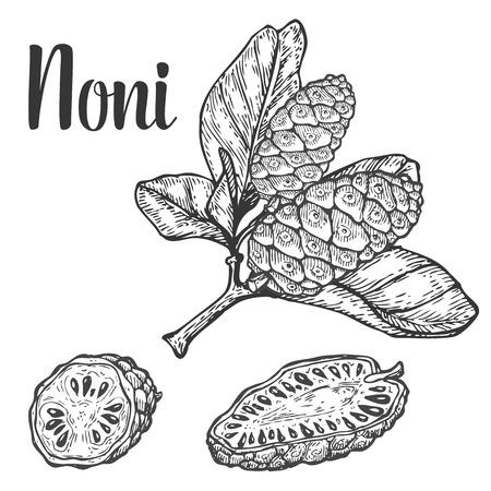 ノニ カムカム、フルーツ ベリー種ダイエット工場スーパー フード成分。天然オーガニックの手描きの背景は、彫刻が施された図をスケッチします  イラスト・ベクター素材