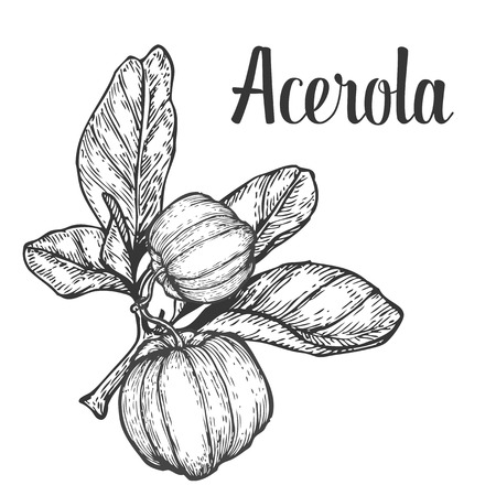 berry fruit: Acerola fruit, barbados cherry. Superfood organic american berry. Hand drawn vector engraved illustration. Black isolated on white background