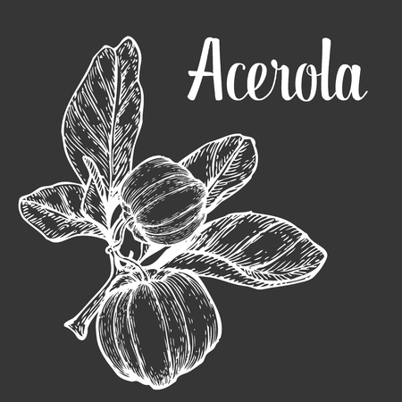 berry fruit: Acerola fruit, barbados cherry. Superfood organic american berry. Hand drawn vector engraved illustration. White isolated on black background Illustration