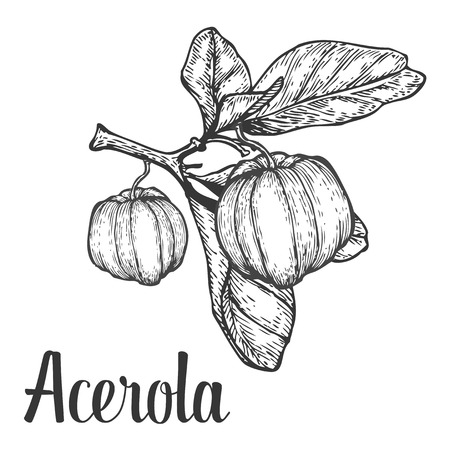 black berry: Acerola fruit, barbados cherry. Superfood organic american berry. Hand drawn vector engraved illustration. Black isolated on white background