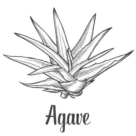 agave: Agave azul. la planta de vectores dibujado a mano ilustración sobre fondo blanco. Ingrediente para la medicina tradicional, tratamiento, cuidado del cuerpo, la cocina o la jardinería. Suculento. el estilo de grabado. Vectores