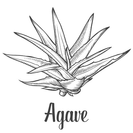 plants: Cactus blue agave. plant vector hand drawn illustration on white background. Ingredient for traditional medicine, treatment, body care, cooking or gardening. Succulent. Engraving style.