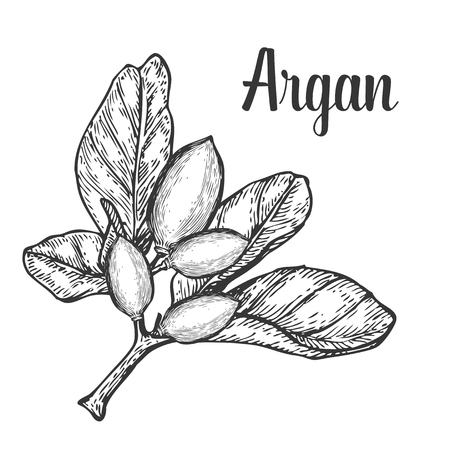argan: Argan nut oil, fruit, berry, leaf, branch, plant. Hand drawn engraved vector sketch etch illustration. Ingredient for hair and body care cream, lotion, treatment, moisture. Black on white background