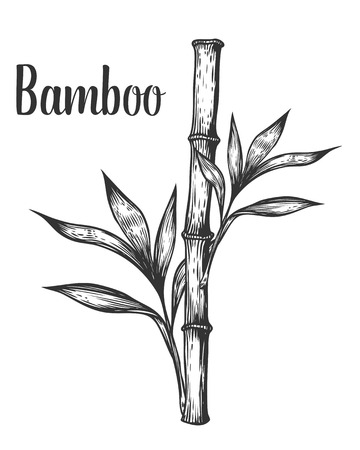 Bamboo stem branch and leaf vector hand drawn illustration. Black on white background. Engraving style. 向量圖像