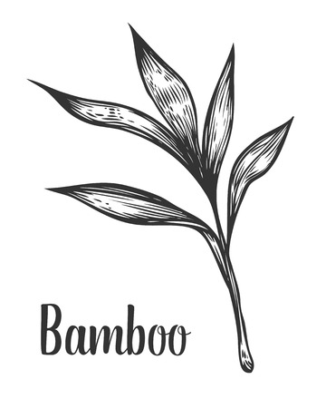 Bamboo branch and leaf vector hand drawn illustration. Black on white background. Engraving style.