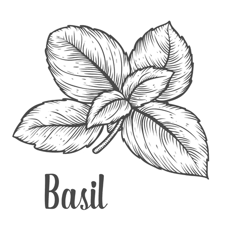 basil: Basil fresh herb leaves plant vector hand drawn illustration on white background. Herbal Ingredient for traditional cuisine, medicine, treatment, cooking, gardening. Engraving style. Isolated on white