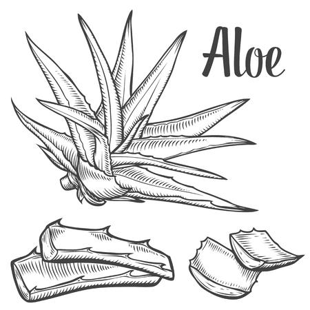 Aloë Vera plant vector hand getekende illustratie op een witte achtergrond. Ingrediënt voor traditionele geneeskunde, behandeling, lichaamsverzorging, koken of tuinieren. Succulente cactus Gravure stijl. Stock Illustratie