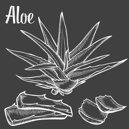treatment plant: Aloe Vera plant vector hand drawn illustration on black background. Ingredient for traditional medicine, treatment, body care, cooking or gardening. Succulent cactus Engraving style. Illustration