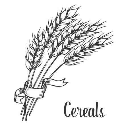 illustration isolated: Wheat bread ears cereal crop with ribbon sketch decorative icons set isolated vector illustration. Hand drawn