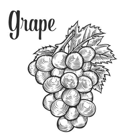 black grape: Grape with leaf, fruit berry sweet wine sangria ingredient. Natural organic hand drawn vector sketch engraved illustration. Black isolated on white
