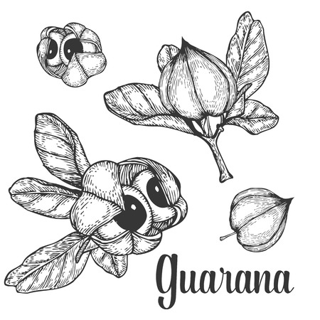 plant to drink: Guarana seed, fruit berry energetic diet caffeine plant superfood energy drink  and herbal tea ingredient. Natural organic hand drawn vector sketch engraved illustration. Black isolated on white