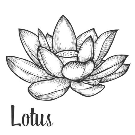 nymphaea: Lotus flower hand drawn monochrome vector floral illustration. Floral engraving sketch natural organic element.