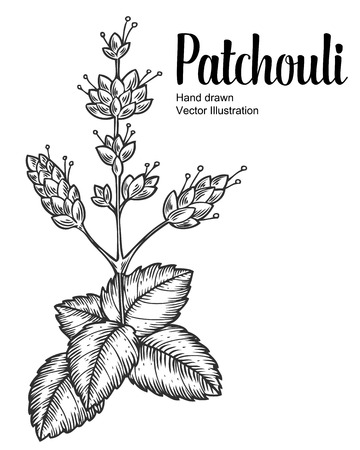 Patchouli plant vector hand drawn illustration on white background. Pogostemon cablin. Plant for traditional medicine, perfume fragrance, cooking or gardening, aromatherapy. Engraving style.