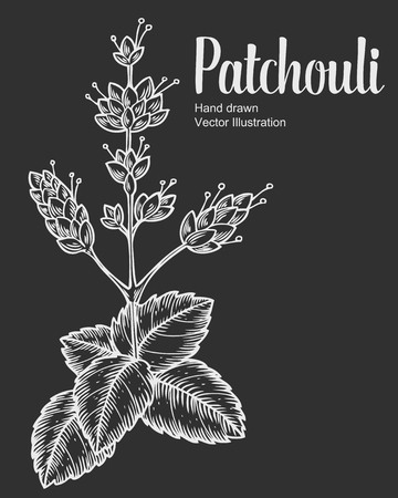 dermatologist: Patchouli plant vector hand drawn illustration on black background. Pogostemon cablin. Plant for traditional medicine, perfume fragrance, cooking or gardening, aromatherapy. Engraving style.