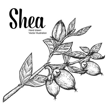 Shea plant biologische noten vector illustratie. Monochroom, Line Art. Gravure