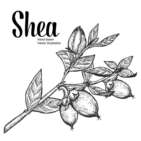 Shea plant organic nuts vector illustration. Monochrome, Line Art. Engraving