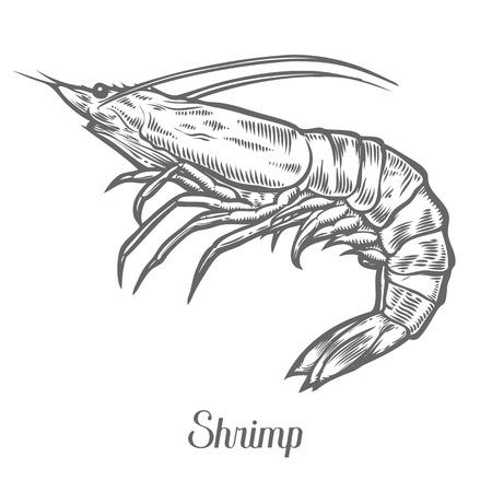 새우, 새우 해산물 해양 동물 스케치 벡터 일러스트 레이 션. 조개 가리비 손 새겨진 에칭 잉크 만화 그림을 그려. 해양 식품. 건강한 해산물. 유기농 제품입니다. 흰색 배경에 검은 색